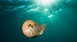 A chambered nautilus swam near Gnemelis Drop-Off, Palau, in the southwestern Pacific. Marine biologists have begun to consider whether it should be listed as an endangered species.