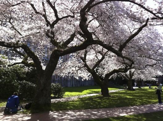 Cherry trees on campus