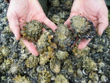 Oysters from Washington.