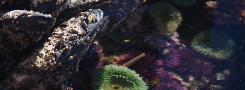 Mussels in a tidepool