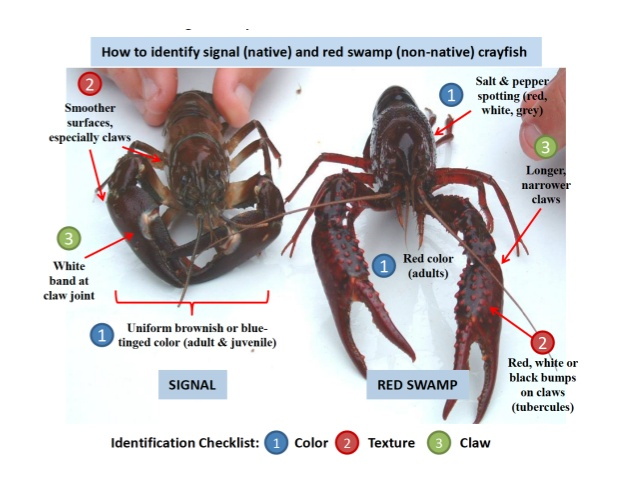 Uw Ecologist And Citizen Scientists Lead The Charge Against  A Quick Comparison Between The Signal And Red Swamp Crayfish