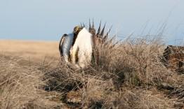 A male sage grouse displaying during mating season.