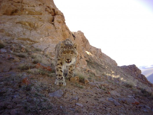 Camera trap photo of a snow leopard in Kachel's study area