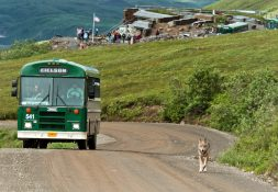 A wolf trots down the road in Denali National Park and Preserve in front of a visitor bus.