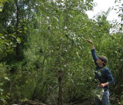 Co-author Andrew Sher samples one of the poplar trees.
