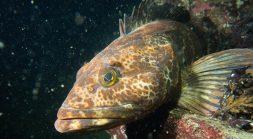 A lingcod fish.