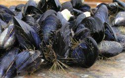 Trossulus byssus mussels.