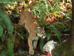 A cougar stands over its prey.