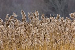 Invasive Phragmites, a plant that's native to England, damage biodiversity, wetlands and beaches in North America.
