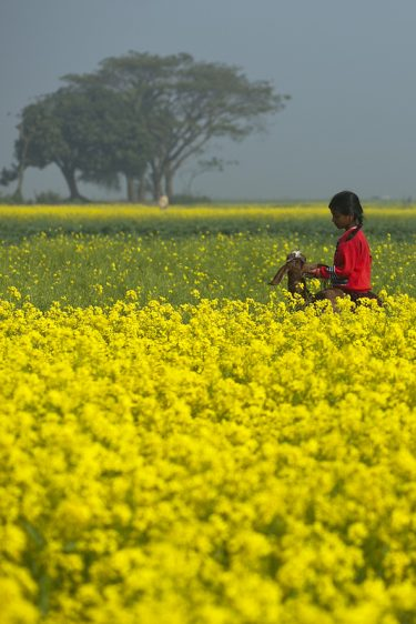 Young girl in a field of yellow, flowering crops with her goat.