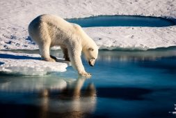 A polar bear tests the strength of thin sea ice.