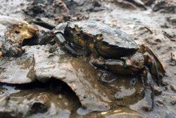 "A European green crab (Carcinus maenas, meaning ""raving mad crab"") found earlier in Willapa Bay, Washington."