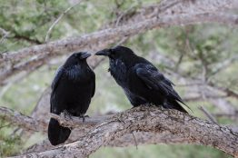 Two ravens sitting on a tree branch.