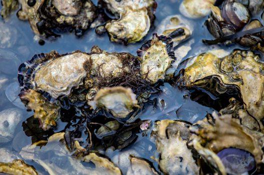 Oysters at Taylor Shellfish Farm