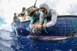 University of Washington researchers tagging a swordfish