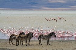 Zebras and flamingoes in front of Lake Magadi