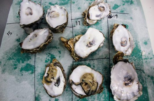 Pacific oyster shells
