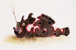 Illustration of frogfish.