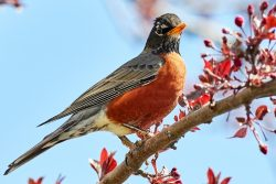A robin sits atop a branch.
