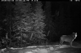 Gray wolf caught on camera in Denali National Park in Alaska.