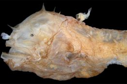 Female anglerfish with a parasitic male attached to her back.