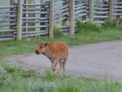 Bébé bison