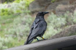 GPS tracking device on a raven