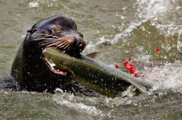 Sea lion eating a salmon