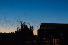 Crows roost at UW Bothell