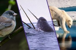 Dark-eyed junco, narwhal and polar bear
