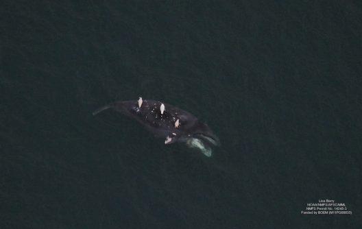 A bowhead whale carcass.