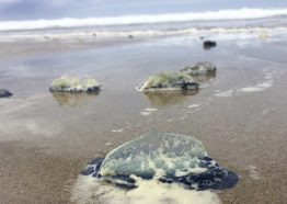 """Velella velella, also called """"by-the-wind sailor"""" jellies, that washed ashore at Moolack Beach, Oregon, in 2018."""