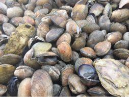 Dying clams on Hood Canal, Rocky Bay, 2019.King et al, Harmful Algae, 2021